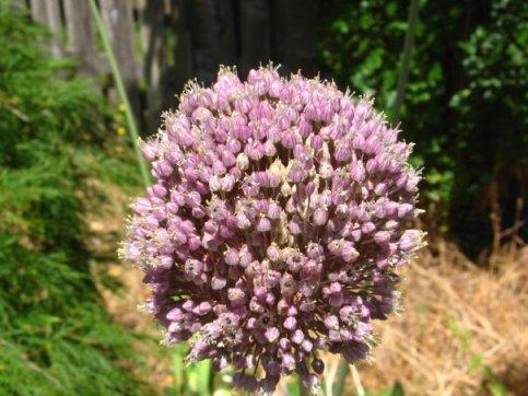 garlic-bud.jpg